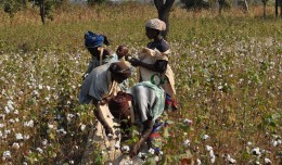 Just like in Benin, CmiA now works with smallholder cotton farmers in Zimbabwe