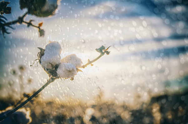 CmiA cotton is only rain-fed cultivated_Credit Cotton made in Africa